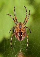 garden spider on the cobweb
