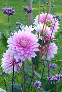 pink dahlias flowers in the garden
