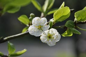 two flowers on a branch of an apple tree