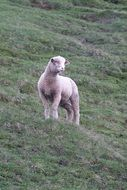 lamb sheep animal nature