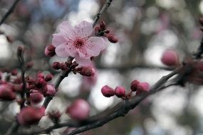 closed sakura buds on a branch