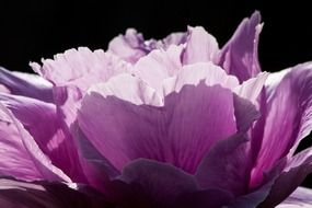 Purple peony close-up