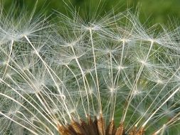 white dandelion umbrellas close up