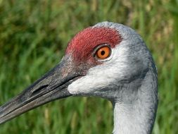 Crane head with a red spot on a background of green plants