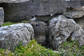 guinea pig in a hiding place in the rock