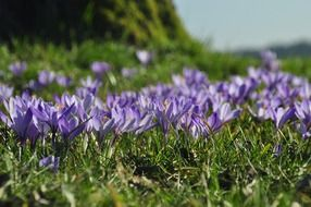 Glade with blue crocuses