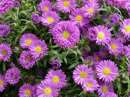 aster perennial purple flowers