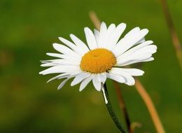 white marguerite flower blossom