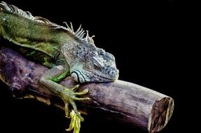 iguana resting on the tree branch