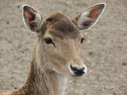 cute wild deer head