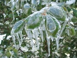 ice covered holly bush leaves