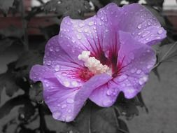 purple flower in water drops