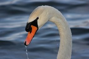 swan in water drops