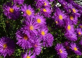 balcony asters