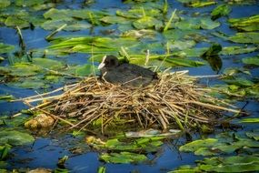 eurasian coot in the nest on the pond