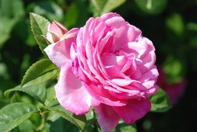 romantic pink garden rose