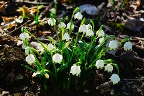 White snowdrops in spring