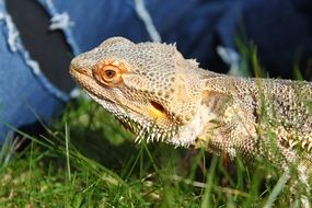 bearded dragon or lizard