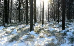 winter forest with snow between trees