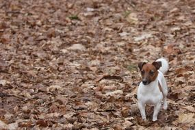 terrier in the autumn forest
