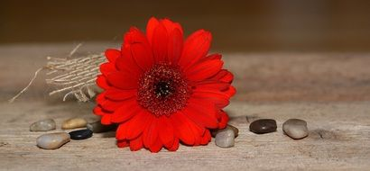 Red gerbera among decorative stones