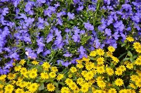 A lot of yellow and blue flowers