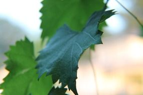 dark green leaves closeup