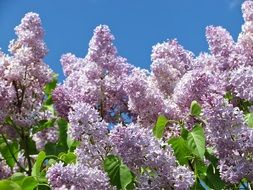 Lush lilac plants in bloom