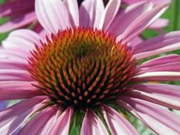 fluffy core of echinacea