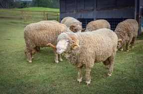 purebred sheep on a farm