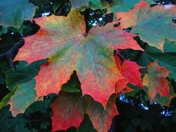 red-green maple leaves on a branch
