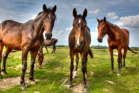 Beautiful brown horses on pasture