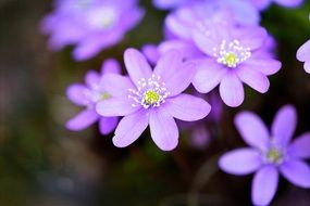 hepatica is a spring flower