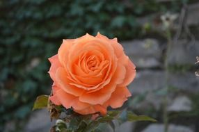 pink orange rose bloom