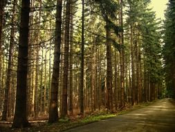 pine forest, coniferous forest