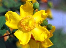 blooming yellow hypericum in spring