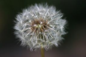 white gentle fluffy summer dandelion