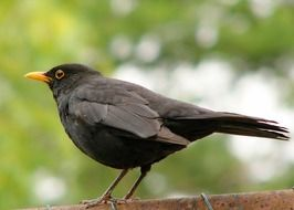 blackbird with a yellow beak