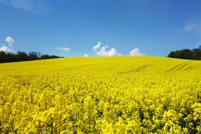 sea of yellow rapeseed flowers