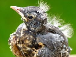 macro photo of a red robin chick