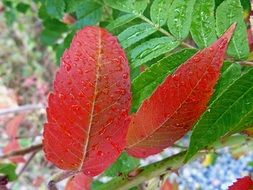 dew drops on red and green leaves