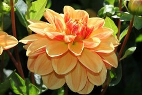 orange dahlia flower in the garden