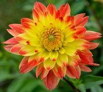 yellow red dahlia close up
