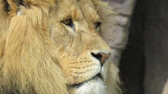 muzzle of a lion with a long mane