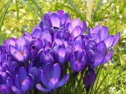picture of the purple crocuses