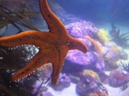 orange colored starfish in aquarium