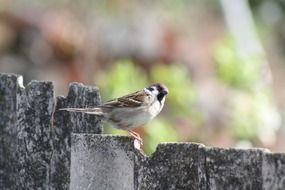 sparrow on a wooden fence close-up