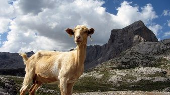 red goat in mountain landscape