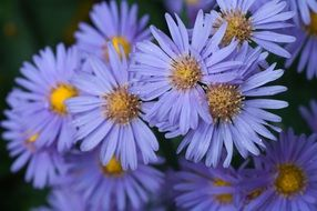 blue asters close up