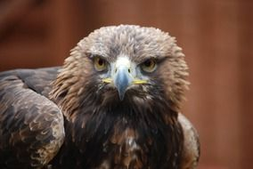 young brown eagle staring
